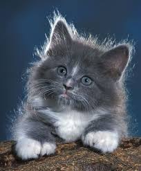 cute fluffy gray kittens. Perfect Cute Fluffy Kittens  Joanne Stolte All Galleries U003eu003e U003e Gray  Kitten Throughout Cute D