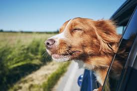 Owners Urged To Safely Secure Dogs When Driving To Avoid Fine