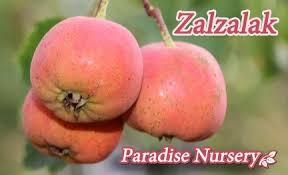 Iranian Fruit Trees