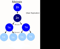 Venn Diagram Comparing Meiosis And Mitosis What Are The Differences Between Meiosis I And Meiosis Ii