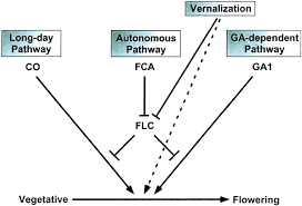 analysis of flowering time control in arabidopsis by comparison of   figure