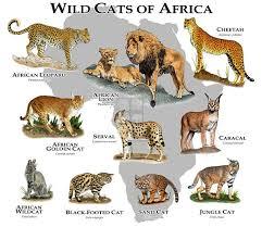 List Of Ten Wild Cat Species Of Africa Cats For Africa
