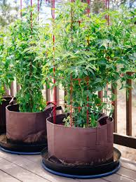 how to grow tomatoes in pots even