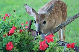 deer repellent for gardens. How To Deter Deer From Garden Ban Repels Protects And Landscape Plants Repellent Flowers For Gardens