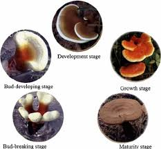 the developmental process of lingzhi fruit body