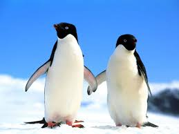 cute penguins in love. Simple Love Cute Penguin Pictures  Nature S Mighty Pictures Just Love Cute Animals If  You Want Some  Inside Penguins In Love U