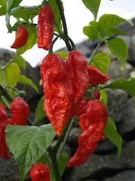 Ghost Pepper Chart Bhut Naga Jolokia Ghost Pepper Products Hong Kong Bhut Naga