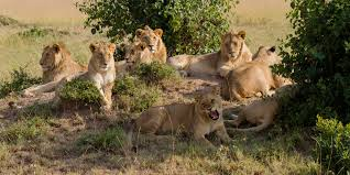 africa s big facts about lions leopards elephant buffalo  lions in masai mara benh lieu song