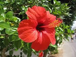 hibiscus flowers nelesa gardening red hibiscus live flower plant amazon in garden