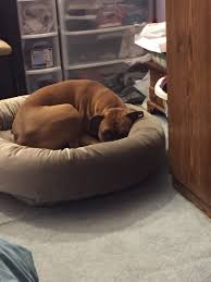 dog beds  page   boxer forum  boxer breed dog forums