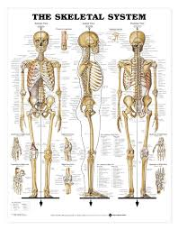 Anatomical Chart Posters The Skeletal System Anatomical Chart Poster Laminated