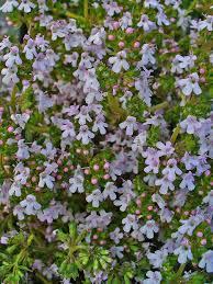 Garden Thyme