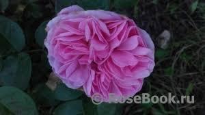 <b>Pink</b> Eureka ® :: Энциклопедия роз
