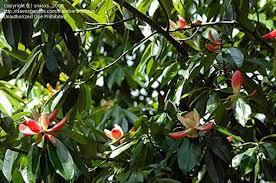 Lotus Tree Fruit  Lotus Fruit Tree