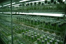 Image result for tissue culture