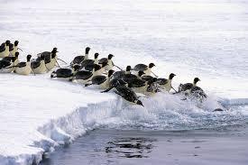emperor penguin habitat. Contemporary Habitat Emperor Penguins Tobagganing Into Water With Penguin Habitat R