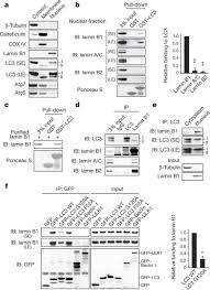 Lamin Designs Figure 1 Lc3 Interacts With Nuclear Lamina Protein Lamin B1