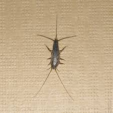 Silverfish Pest Control Silverfish Removal Treatment Infestations Ny