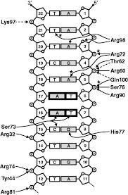 Schematic diagram summarizing the hydrogen bonds and salt bridges