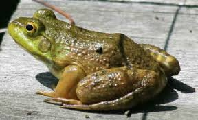 image of a frog. Beautiful Frog Green Frog Photo By Leanne For Image Of A