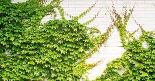 14 Spring Again  Deep Green PermacultureWall Climbing Plants In Pots
