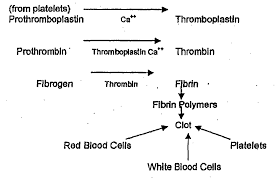 Coagulation Of Blood Flow Chart Platelets Help In Clotting Of Blood At Injured Side Draw A