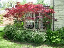 large bloodgood maple tree for camoufrage the front yard