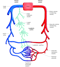 Lymphatic Circulatory System Transport Systems In Animals