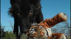 Gray wolf is one of the most exciting battles. Wolf Vs Tiger Vs Doberman Youtube