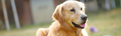 goldador dog breed photos pictures