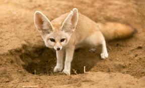<b>Лиса фенек</b>: описание, образ жизни пустынной лисицы в природе