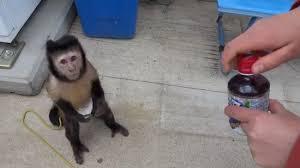 Monkey Uses Vending Machine Magnificent Monkey Uses A Vending Machine World Is A Better Place Video Break