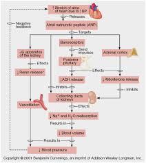 Urinary System Flow Chart Www Bedowntowndaytona Com