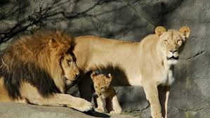 lion lioness and cubs stock fooe