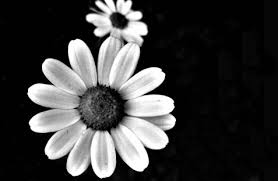 black and white flowers tumblr photography. Simple And Black E White Flowers Tumblr Fotographyblack  Background Wallpines Honduras Smfjhwt Inside And Photography