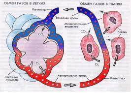 в легких и тканях Газообмен в легких и тканях