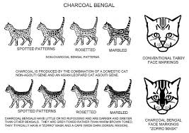 Charcoal Pattern Bengal Cat Colors Cats Cat Info