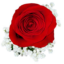 single red rose flower. Fine Rose On Single Red Rose Flower A