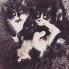 black and white kittens for sale. Contemporary Black Four Black U0026 White Kittens For Sale To A Loving Home Intended And For T
