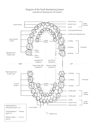 Particular Dental Chart With Teeth Numbers Teeth Names And