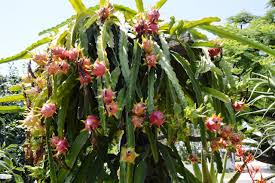 Dragonfruit  Dragon Fruit  World Crops Database  Tropical FruitsDragon Fruit On Tree