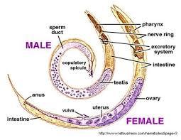 Ascariasis Roundworms Pin Em Chapter 2 Nematoda
