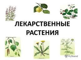 Презентация на тему Лекарственные растения Выполнил ученица  ЛЕКАРСТВЕННЫЕ РАСТЕНИЯ Лекарственные растения обширная группа растений органы или части которых являются сырьем для