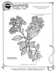 Free Coloring Page Flowers American Speedwell Surviving The Oregon