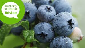 Blueberry Bush Varieties The Best Pollinators For Cross