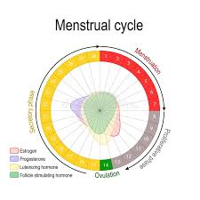Ovulation Chart Image Menstrual Cycle And Hormone Level Stock Vector