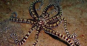Image result for mimic octopus