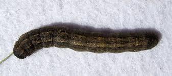 Black Cutworm Agrotis Ipsilon Black Cutworm Agrotis Ips Flickr