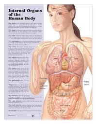 Internal Organs Of The Human Body Laminated Anatomical Chart
