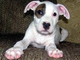 terrier pitbull puppies. Exellent Puppies Pitbull Puppies   Pit Bull Terrier Puppy Picture Submitted By Mario C  Submit Your In Pitbull Puppies T